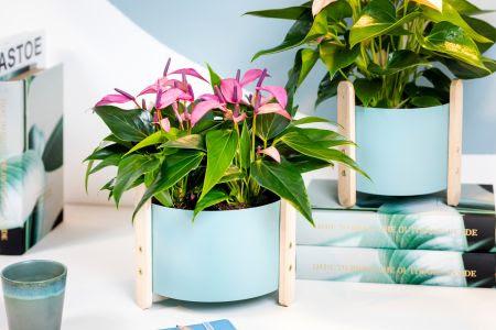 Anthurium: langbloeiend en luchtzuiverend