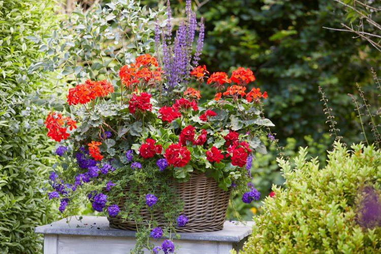 Geranium vol kleur en geur