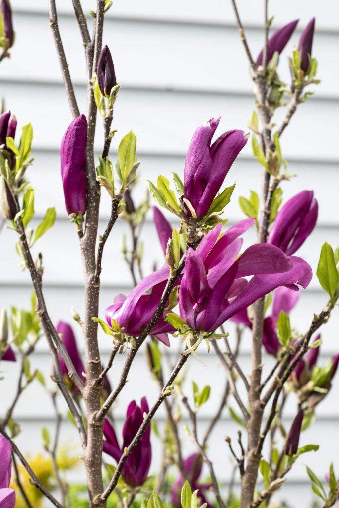 Herfstklus Magnolia Intratuin